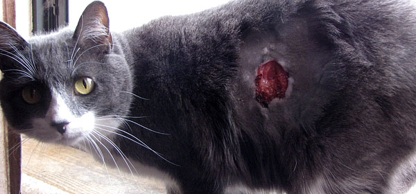 How Can Cats Give Leukemia To Humans